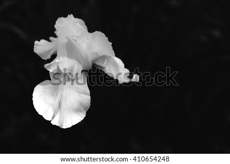 Black and white contrast image of white blooming iris flower against black background with free space, view from above
