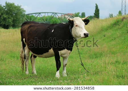 Black and white cow - stock photo