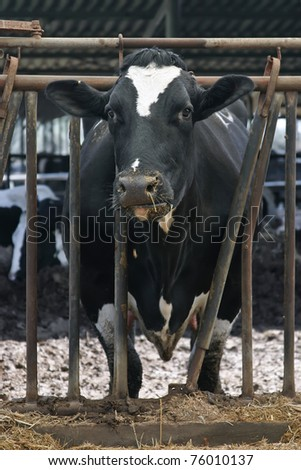 Black and white cow. - stock photo