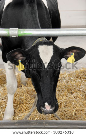 Black and white cow closed in the barn - stock photo