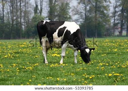 Black and white cow grazing between dandelion plants in Spring - stock photo