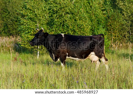 Black and white cow grazing in a meadow.
