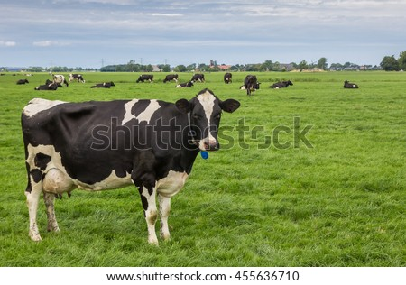 Black and white cow in the dutch province of Groningen - stock photo