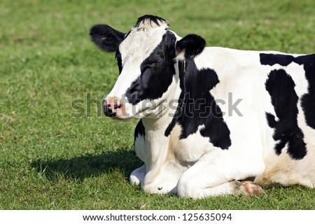 Black and white cow lying down on the grass - stock photo