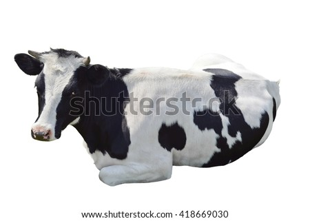 Black and white cow lying isolated on a white background/Black and white cow lying  - stock photo