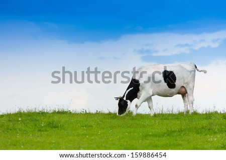 Black and white cow on clean sky and green field eating grass - stock photo