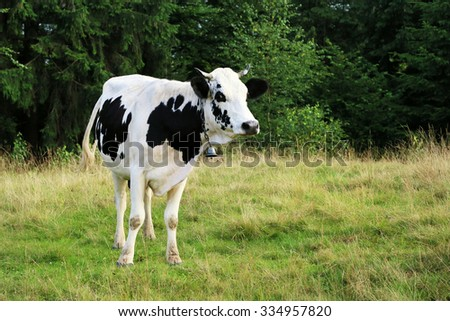 Black and white cow on pasture near forest in Ukraine - stock photo