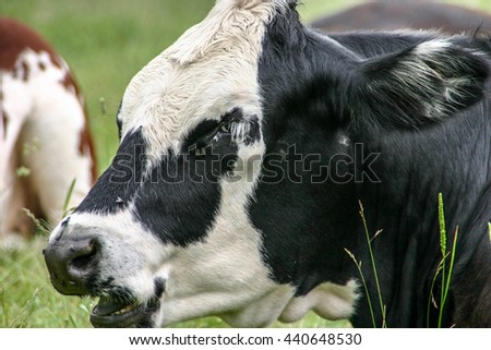 Black and white cow sitting in a field