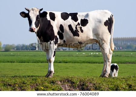 Black and white cow standing in a pasture in Holland - stock photo