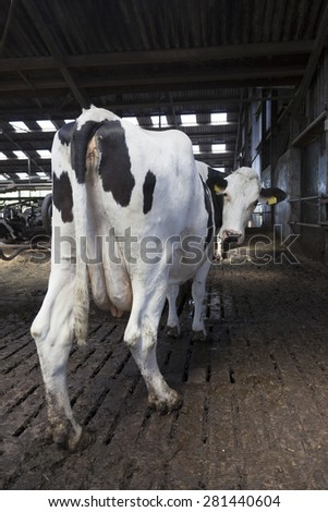 black and white cow stands in half open stable en looks back at camera - stock photo