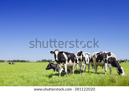 Black and white cows in a grassy field on a bright and sunny day in The Netherlands. - stock photo