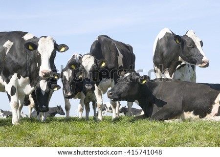 black and white cows in green grassy dutch spring meadow under blue sky in holland with other cows in the background - stock photo