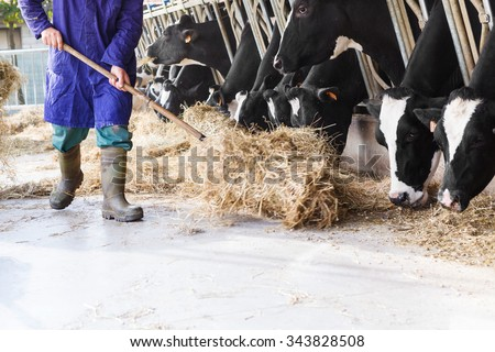 Black and white cows in large cowshed eating hay with farmer and hay bales - stock photo
