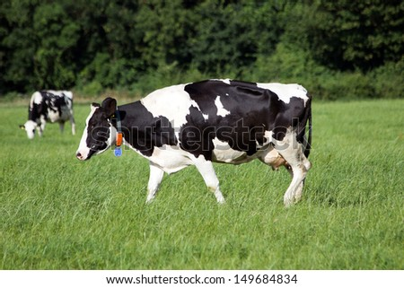 Black and white cows on a farmland in Holland - stock photo