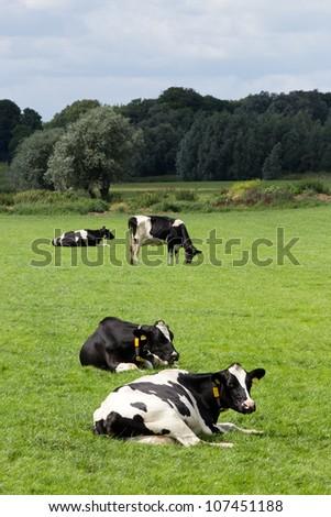 Black and white cows on farmland - stock photo