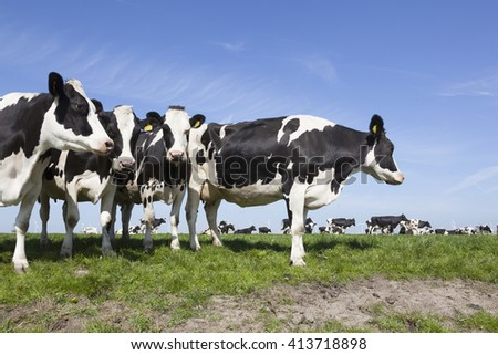 black and white cows stand and look in sunny dutch green meadow on beautiful day in Holland - stock photo