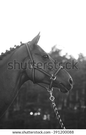 Black and white curious sport horse in a halter - stock photo