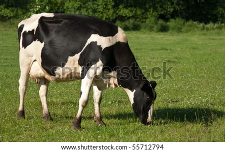 Black and white dairy friesian cow grazing in lush green pasture - stock photo