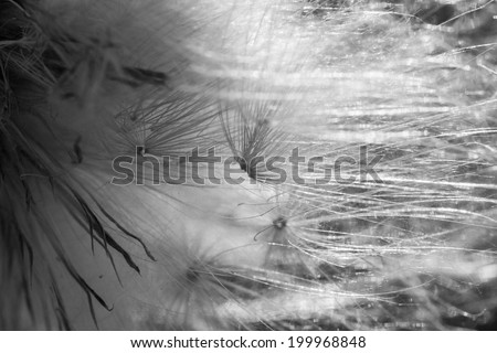 Black and white dandelion seeds - texture and background - stock photo