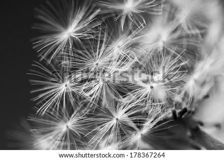 Black and white dandelion seeds with natural background  - stock photo