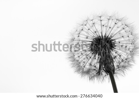 black and white dandelion soft focus silhouette can be used as background