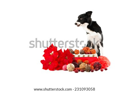 black and white dog border collie with typical Christmas items - stock photo
