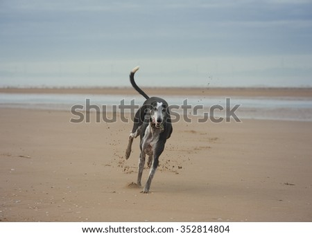 black and white dog on beach - stock photo