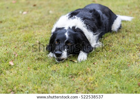 Black and white dog outside laid down chewing her ball on grass