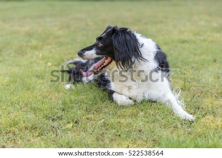 Black and white dog outside laid on the grass looking away and panting