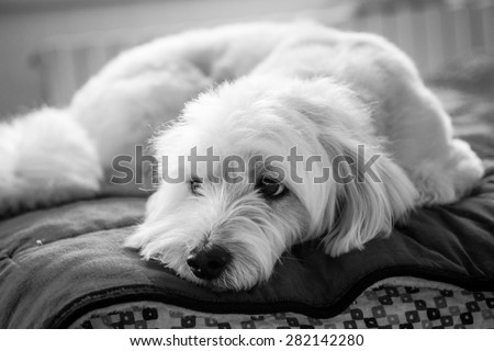 Black and white dog portrait on the bed - stock photo