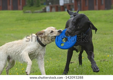 Black and white dog pulling on a blue plastic disk. - stock photo