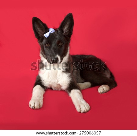 Black and white dog with blue ribbons sitting on red background