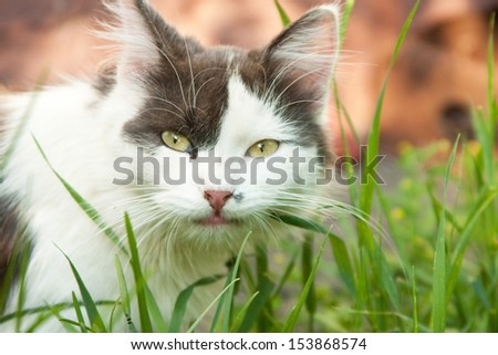 Black and white domestic cat eating grass - stock photo