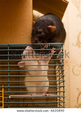 Black and white domestic rats outside and inside the cage