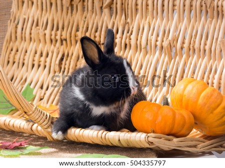 Black and white Dutch rabbit dwarf with small pumpkins. One month
