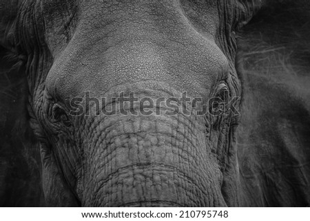 Black and white elephant portrait, South Africa - stock photo