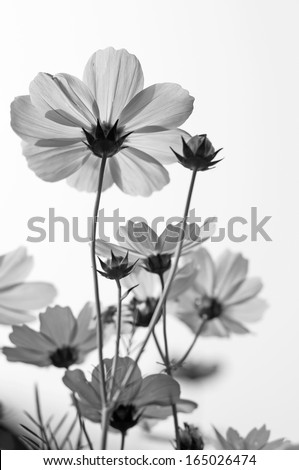 Black and white fine art of the cosmos flower . - stock photo