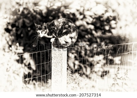 Black and white fine art portrait of domestic cat. Between two gardens an adult tortoise-shell female cat perched on a concrete post looking at camera. - stock photo