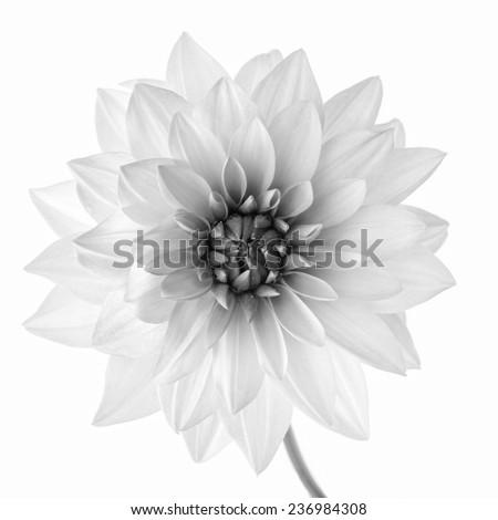 black and white flower  - stock photo