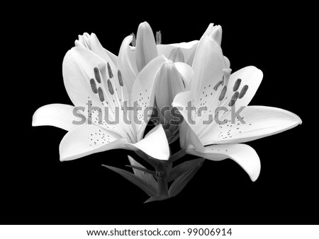 black and white flower lily. A close up isolated on a black background invitations, the menu.