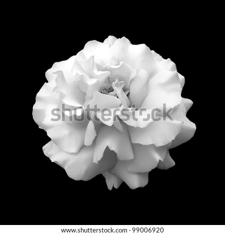 black and white flower rose. A close up isolated on a black background - stock photo