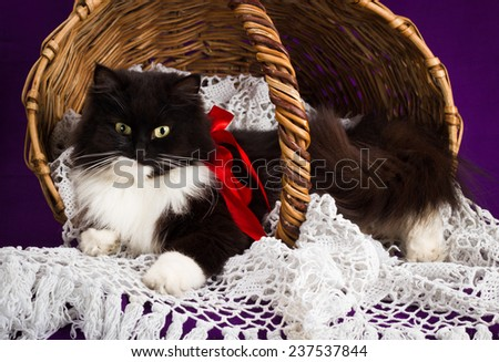 Black and white fluffy cat lies in a basket. Purple background - stock photo