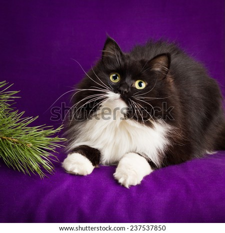 Black and white fluffy cat lies on a purple background. - stock photo