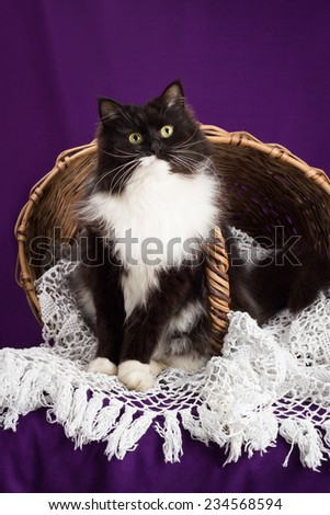 Black and white fluffy cat sitting on a lace veil near the basket. Purple background - stock photo