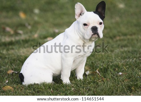 Black and white french bulldog sitting in green grass - stock photo
