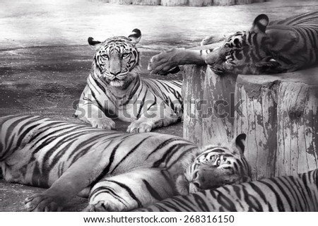 Black and white group of tigers / Group of tigers  - stock photo