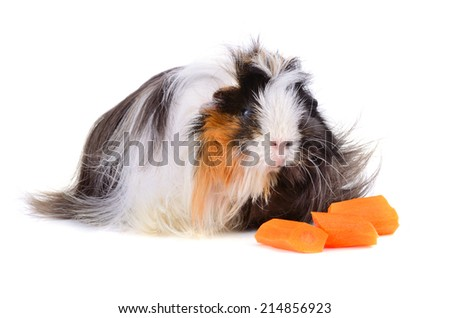 Black and white guinea pig eating carrot on a white background