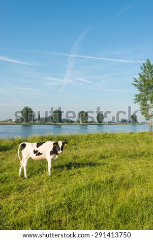 Black and white heifer looking curiously on the banks of a Dutch river at dawn on a sunny day in the early summer season. - stock photo