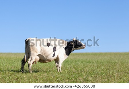 Black and white Holstein dairy cow with a full udder chewing the cud on the skyline in a summer pasture against a clear blue sky, profile view with copy space