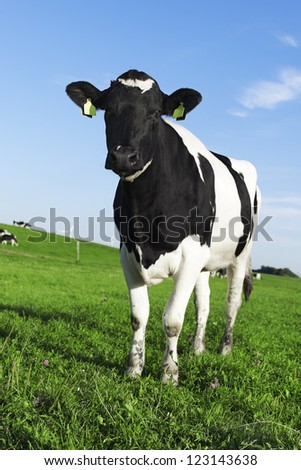 Black and white Holstein Friesian cow - stock photo